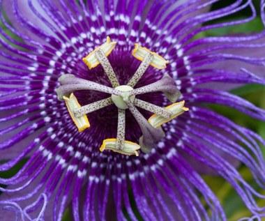 Męczennica cielista: Niezwykły kwiat, który uśmierza bóle