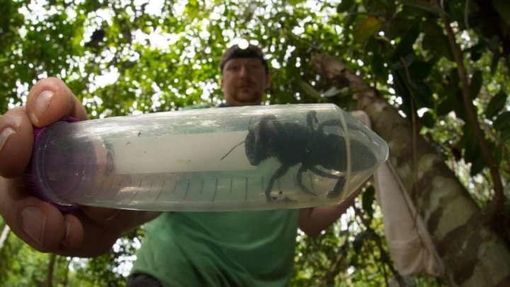 Megachile pluto wcale nie wymarły /YouTube