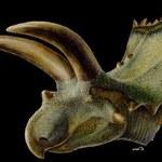 Meksyk: Odkryto szkielet dinozaura o rekordowo długich rogach