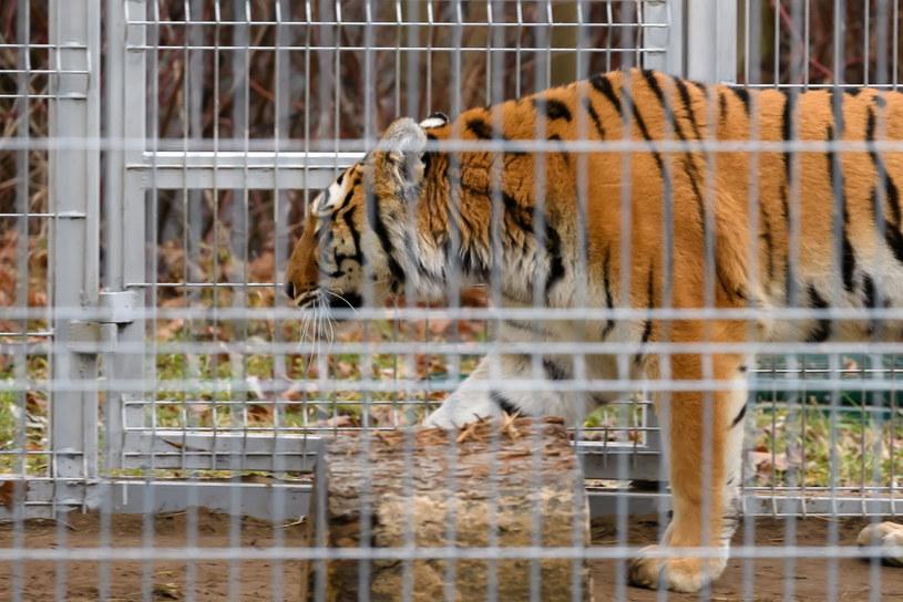 Merida Waleczna, jeden z uratowanych tygrysów, na wybiegu rehabilitacyjnym /Jakub Kaczmarczyk /PAP