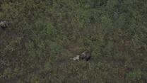 Miał odstraszać niedźwiedzie, ale się z nimi zaprzyjaźnił. Odważna zabawa psa na Kamczatce