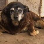 Miała ponad 30 lat. Mogła być najstarszym psem na świecie