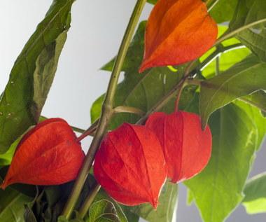 Miechunka jadalna, czyli złota jagoda: Jakie ma właściwości?