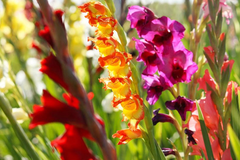 Mieczyki sadzi się do gruntu wiosną. Ozdobią ogród już latem! /123RF/PICSEL