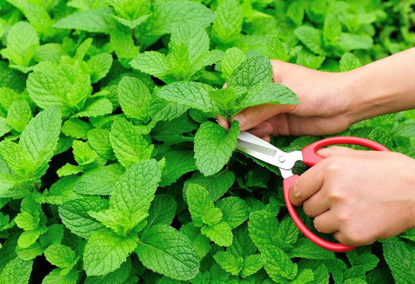 Mięta to roślina o uniwersalnym zastosowaniu. Sprawdzi się w wielu sytuacjach /123RF/PICSEL