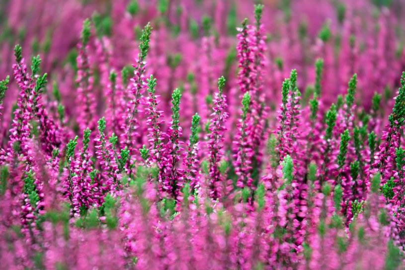 Mikoryza dla roślin wrzosowatych pozwoli stworzyć wspaniałe, jesienne wrzosowisko /123RF/PICSEL