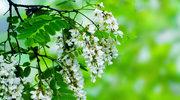 Mikstury z kwiatów akacji na stany zapalne w organizmie