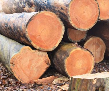 Miliardy mafii ze sprzedaży drewna