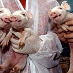 Milion za sztuczne mięso in vitro