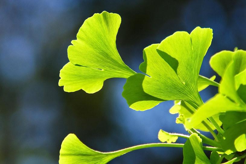 Miłorząb (ginko biloba) wpływa na poprawę pamięci /123RF/PICSEL