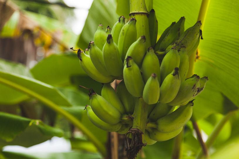 Mimo że banan to egzotyczny owoc, udało mu się podbić serca Polaków /123RF/PICSEL