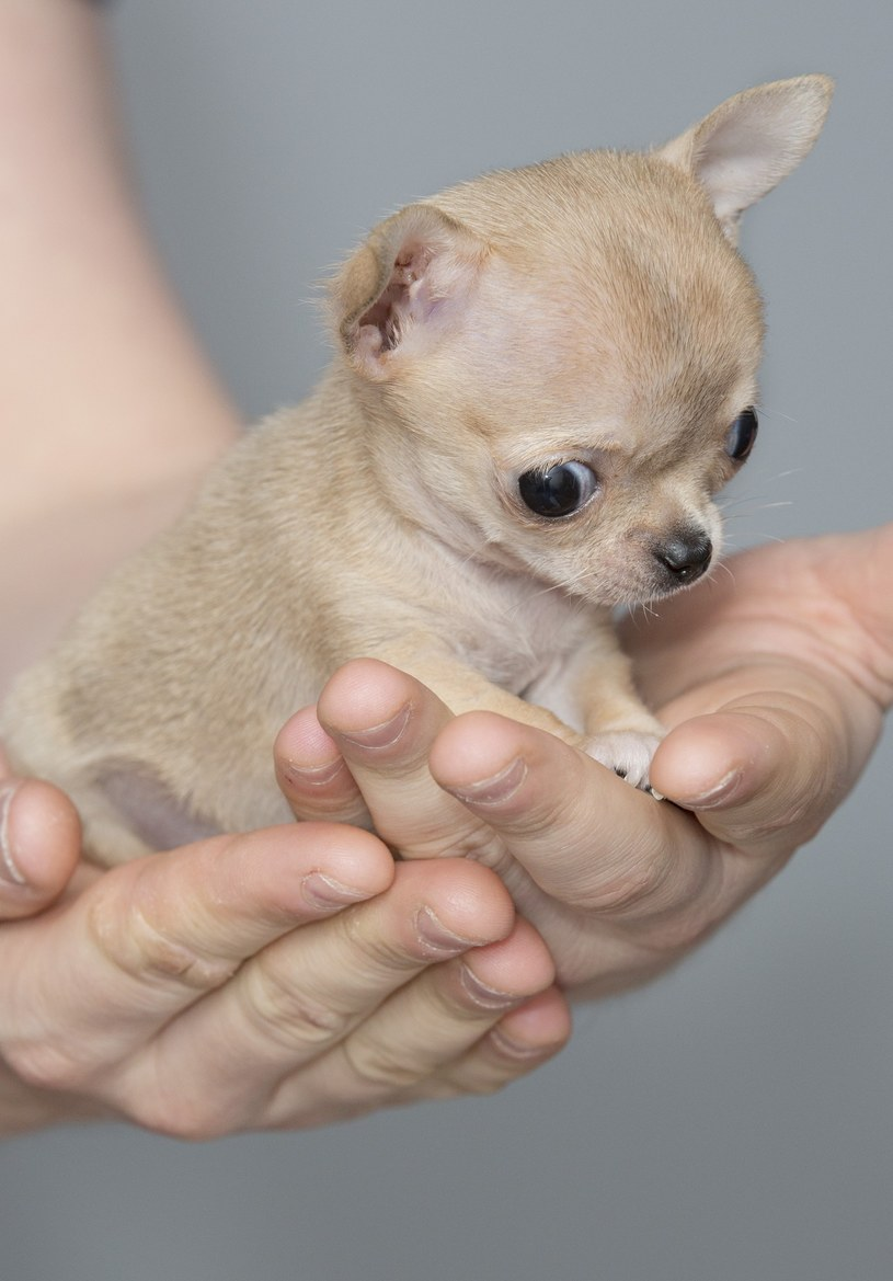 Miniaturowy piesek rasy chihuahua o imieniu Toudi /Leszek Kotarba  /East News
