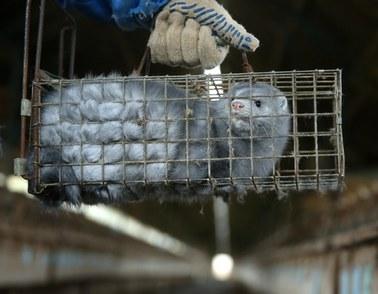 Ministerstwo potwierdza: Pierwszy przypadek zakażenia SARS-CoV-2 u norek w Polsce