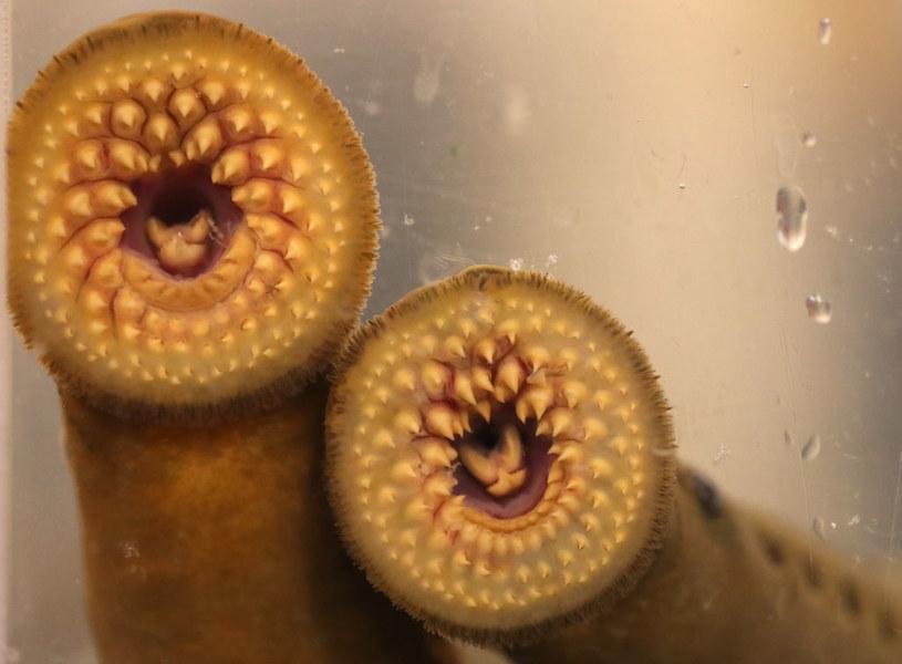 Minóg to wyjątkowo nieprzyjemny dla  oka pasożyt. Jego wydłużona, robakowata postać i ciało pokryte śluzem u wielu budzi obrzydzenie / Steve Russell / Contributor /Getty Images