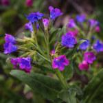 Miodunka: Piękny kwiat o wielu zastosowaniach