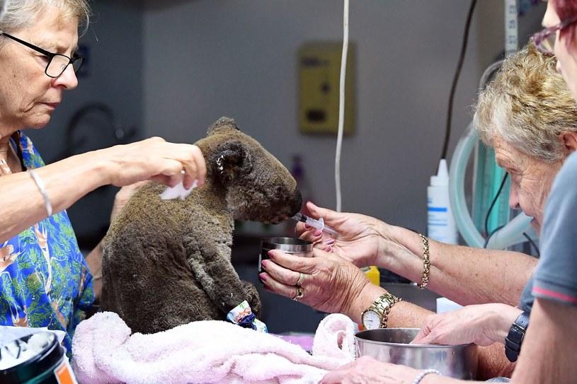 Miś koala pod opieką specjalistów z kliniki. /SAEED KHAN /AFP