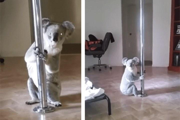 Miś koala włamał się do domu i próbował tańczyć na rurze /Launchpad Screeners /YouTube