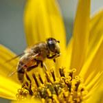 Mleczko pszczele - lek z pasieki