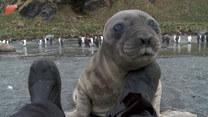 Młoda foka chciała zaprzyjaźnić się z mężczyzną