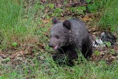 Młoda niedźwiedzica Cisna dokazuje w zoo. Możesz ją już odwiedzić