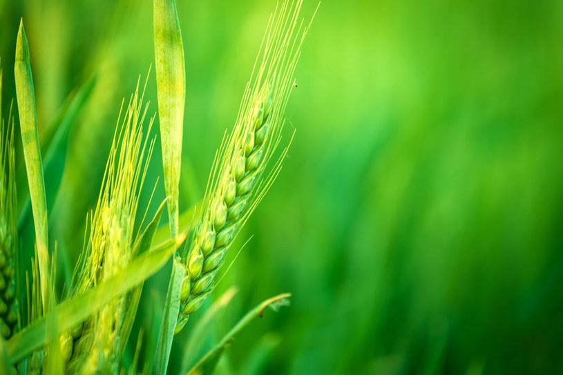 Młoda pszenica /©123RF/PICSEL