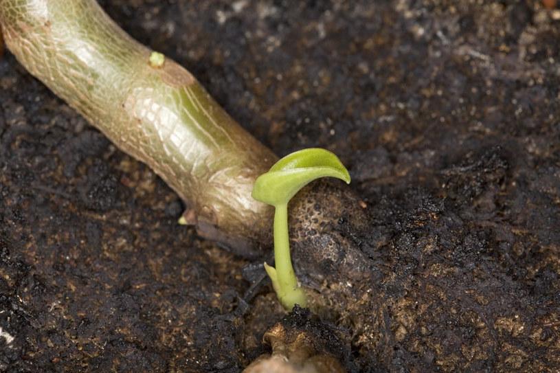 Młoda sadzonka pilei /©123RF/PICSEL