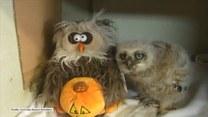 Młoda sowa uczy się ruchów od pluszowej podobizny