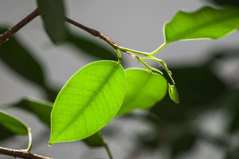 Młode liście beniamina /©123RF/PICSEL