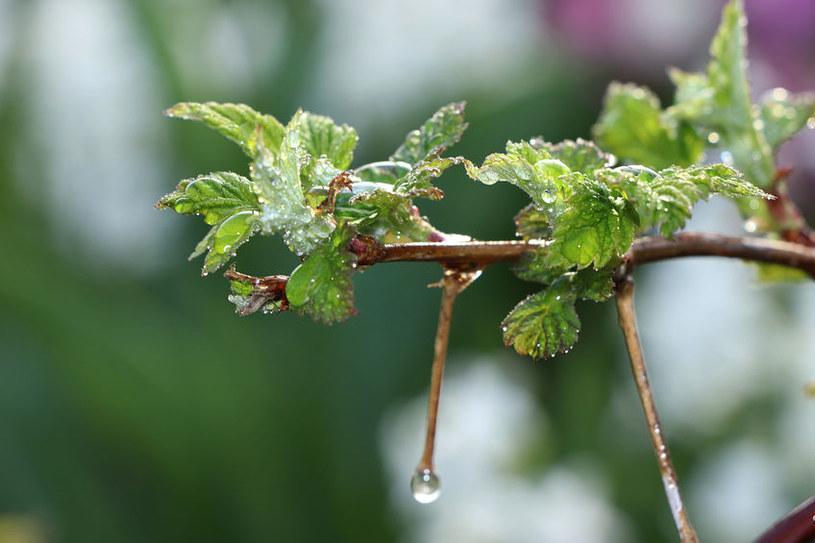 Młode liście porzeczki /©123RF/PICSEL