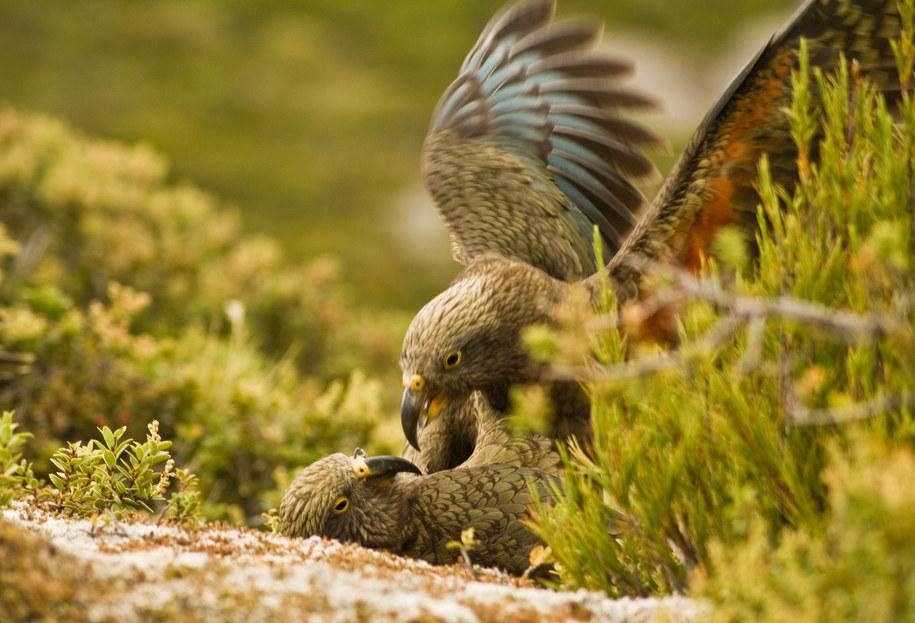 Młode papugi kea /Raoul Schwing /materiały prasowe
