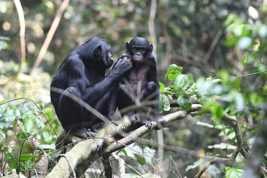 Młody bonobo pod opieką matki w Kokolopori Bonobo Reserve /Martin Surbeck /Materiały prasowe