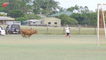 Młody byk wbiegł na murawę i rozgonił grających chłopców