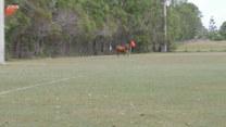 Młody byk wszedł na boisko podczas meczu. Finał?