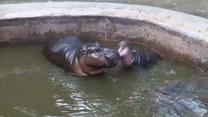 Młody hipopotam zaczepia swoją mamę. Finał?