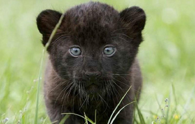 Młody jaguar! /IronCobra /imgur.com