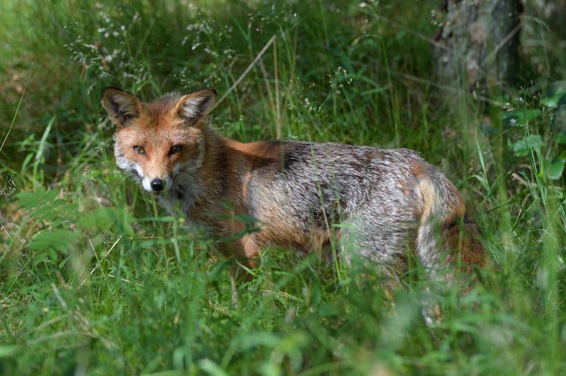 Młody lis w lesie, zdj. ilustracyjne /Gerard /Reporter