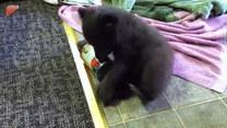 Młody niedźwiadek i wesoła zabawa z puszką