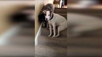 Młody pies asekuruje starszego przy schodzeniu ze schodów