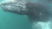 Młody wieloryb domaga się uwagi od turystów. Co robi?