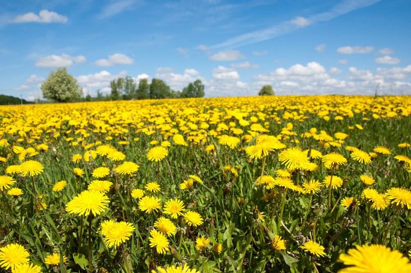 Mniszek lekarski to popularna, ale niedoceniana w Polsce roślina