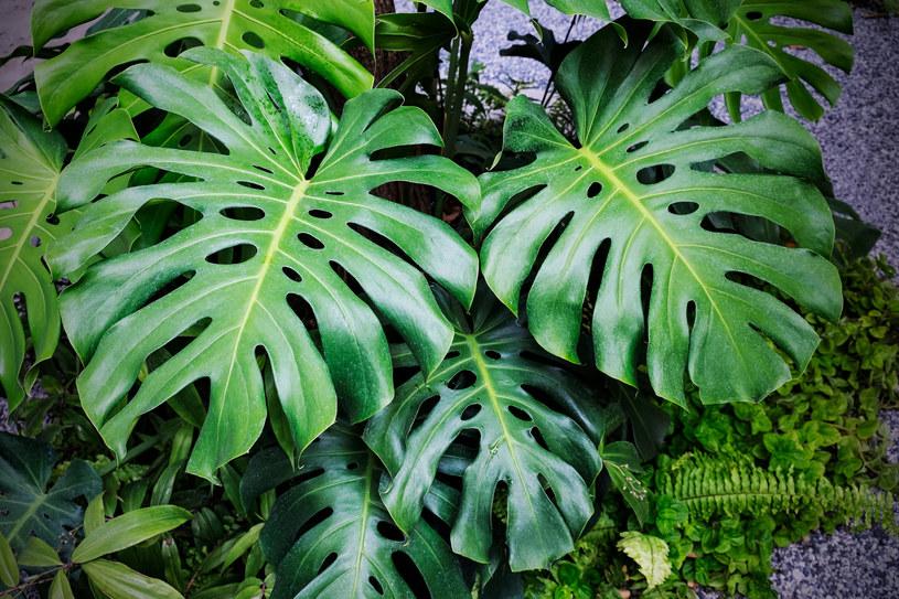 Monstera jest obecnie najmodniejszą rośliną doniczkową /123RF/PICSEL