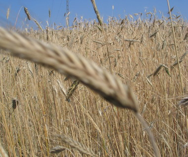 Morawiecki: Przed Ĺźniwami pokaĹźemy specjalny pakiet wsparcia rolnikĂłw