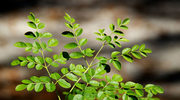 Moringa - drzewo życia, źródło zdrowia