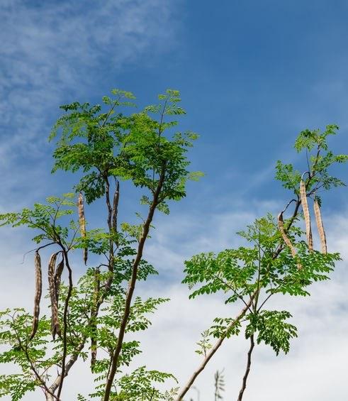 Moringa olejodajna /©123RF/PICSEL