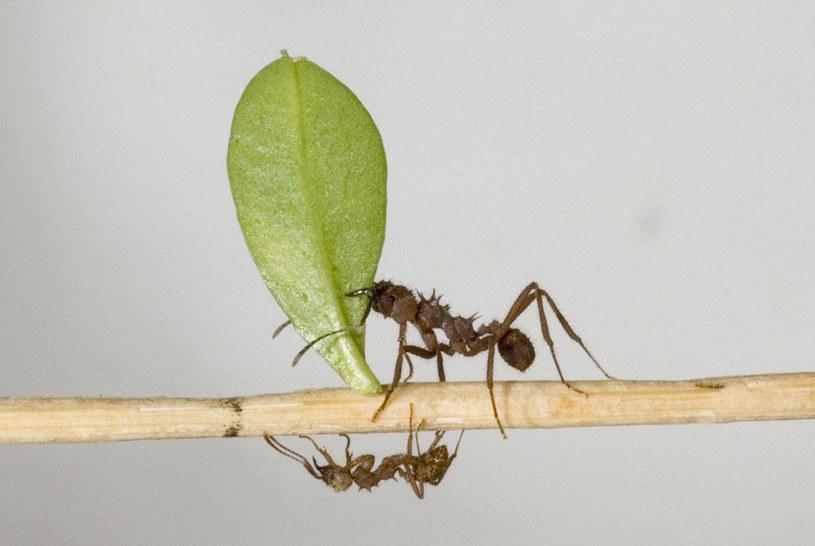 Mrówki Acromyrmex echinatior /materiały prasowe