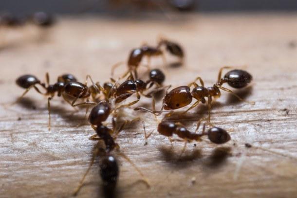 mrówki jak zwalczyć /© Photogenica