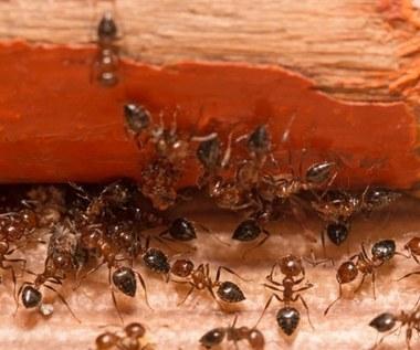 Mrówki w domu i w ogrodzie: Jak się ich pozbyć?