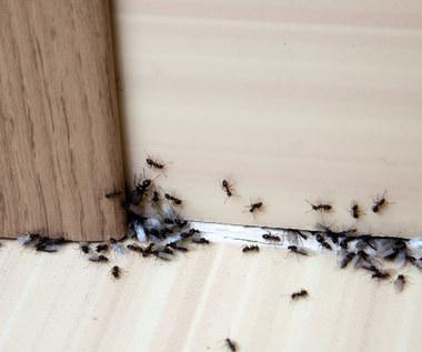 Mrówki w domu: Jak się ich pozbyć?