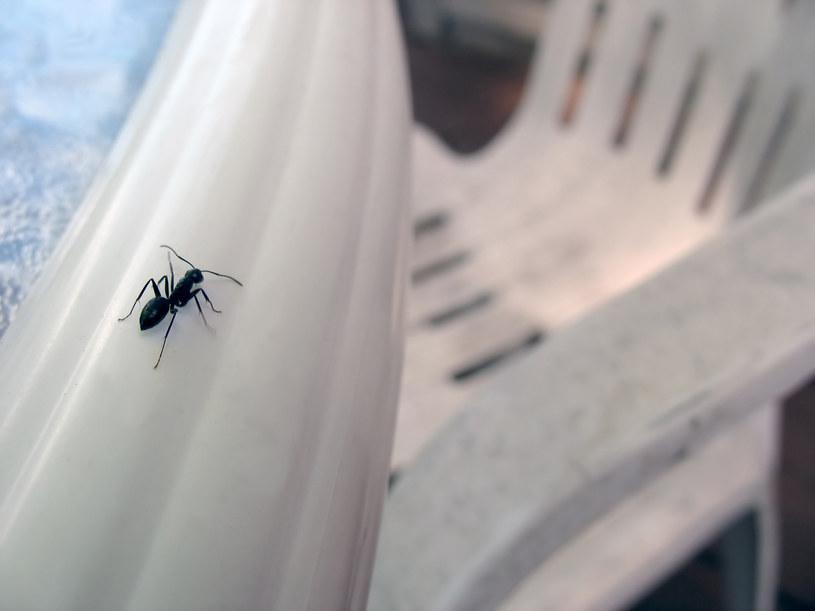 mrówki w domu /© Photogenica