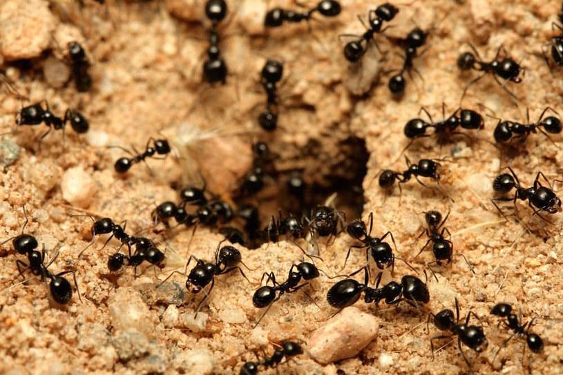 mrówki w ogrodzie /© Photogenica